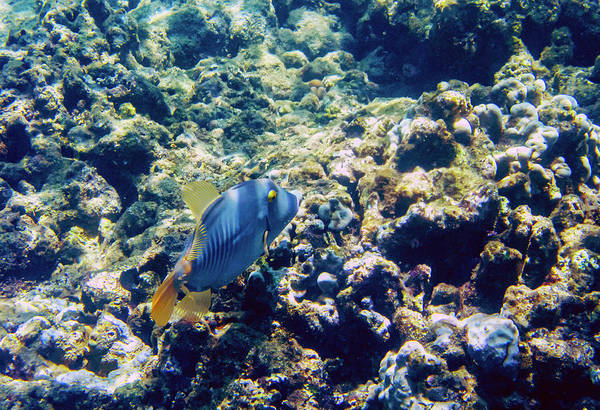 Photograph - Trigger Fish by Anthony Jones
