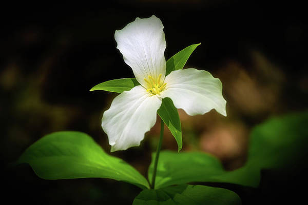 Wall Art - Photograph - Trillium 1 by Heather Kenward