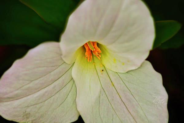 Photograph - Trillium Closeup by Meta Gatschenberger