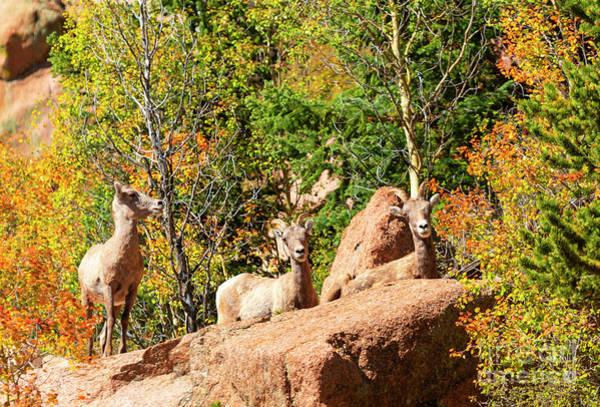 Photograph - Trio Of Bighorn Sheep by Steve Krull