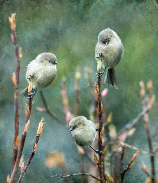Wall Art - Photograph - Trio Of Bushtits by Angie Vogel