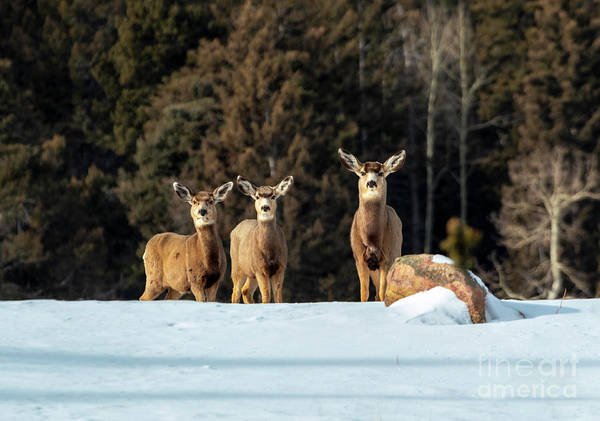 Photograph - Trio Of Mule Deer In Deep Snow by Steve Krull