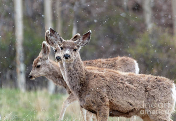 Photograph - Trio Of Mule Deer On A Snowy Morning by Steve Krull