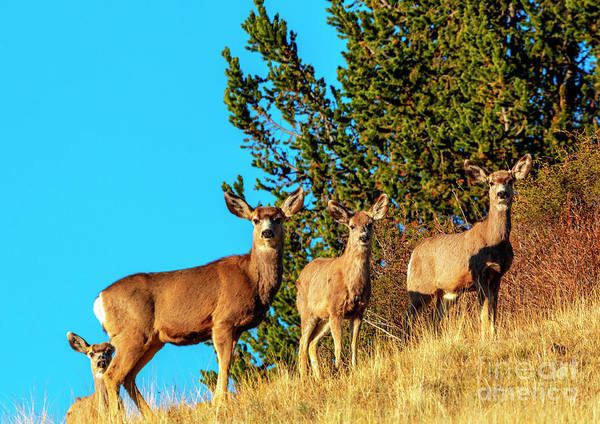 Photograph - Trio Of Rocky Mountain Mule Deer by Steve Krull