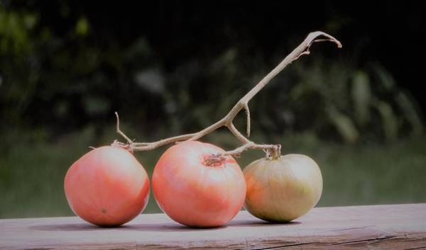 Photograph - Trio Tomatoes by Tina M Wenger