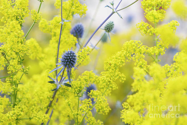 Photograph - Tripartite Eryngo And Lady's Bedstraw Flowers by Tim Gainey