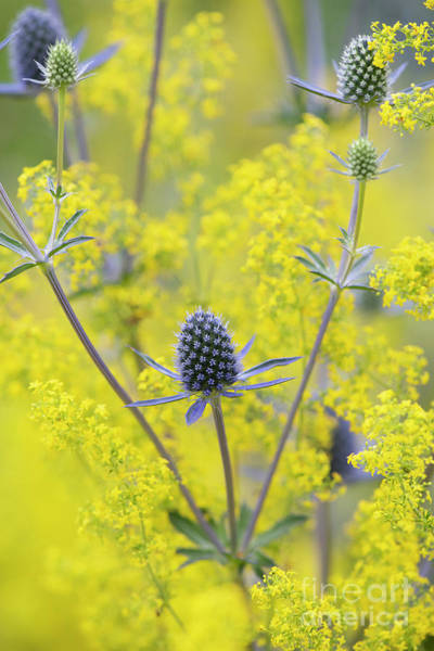 Photograph - Tripartite Eryngo And Lady's Bedstraw In A Wildflower Garden  by Tim Gainey