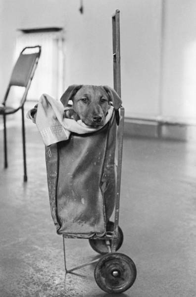 White Dog Photograph - Trolley Dog by Oates