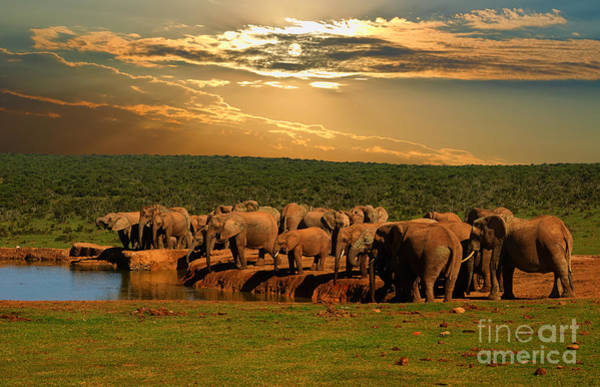 Late Wall Art - Photograph - Troop, Herd Of Elephant, Loxodonta by Hajakely