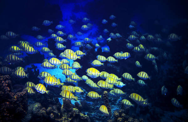The Great Outdoors Photograph - Tropic Fish In Tahitian Ocean by Great Art Productions