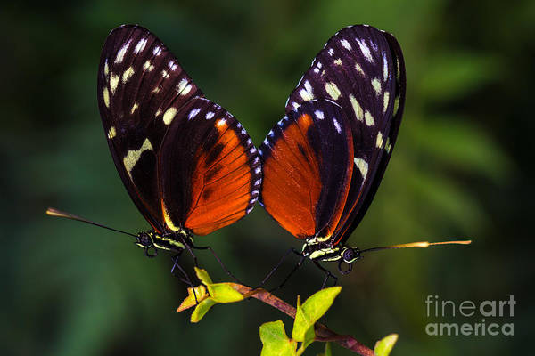 Wall Art - Photograph - Tropical Butterflies Dido Longwing On by Veroja
