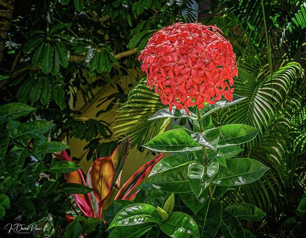 Photograph - Tropical Flower by David Pine