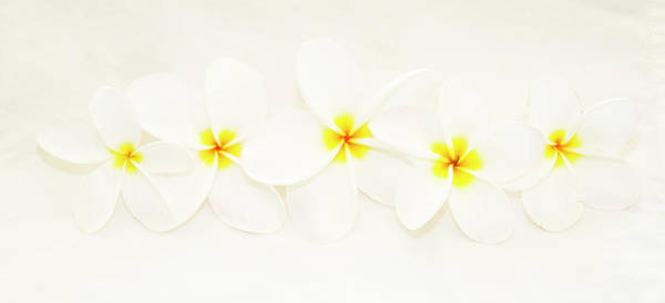 Wall Art - Photograph - Tropical Flower Plumeria In White by Darrell Gulin