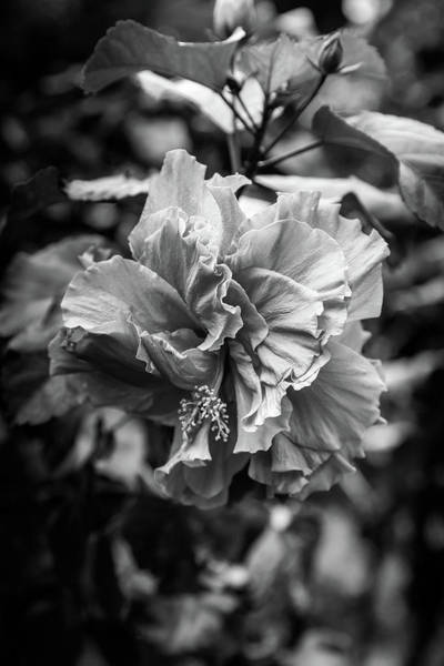 Photograph - Tropical Hibiscus - Black And White by Georgia Fowler