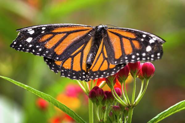 Photograph - Tropical Milkweed Butterfly Jardin Botanico Del Quindio Calarca  by Adam Rainoff