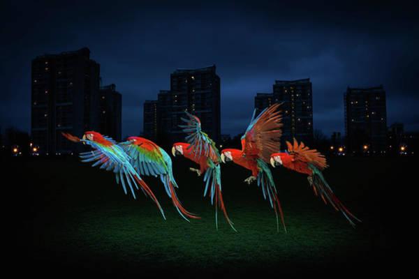 Macaw Photograph - Tropical Parrot Flies Through Urban by Tim Platt