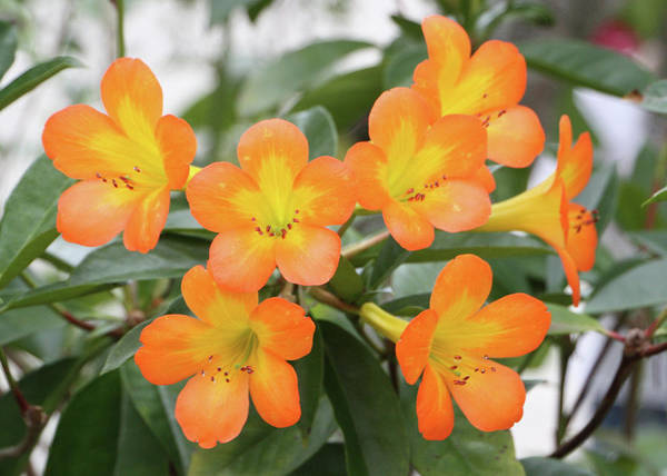 Photograph - Tropical Rhododendron Dwp101311001 by Dean Wittle