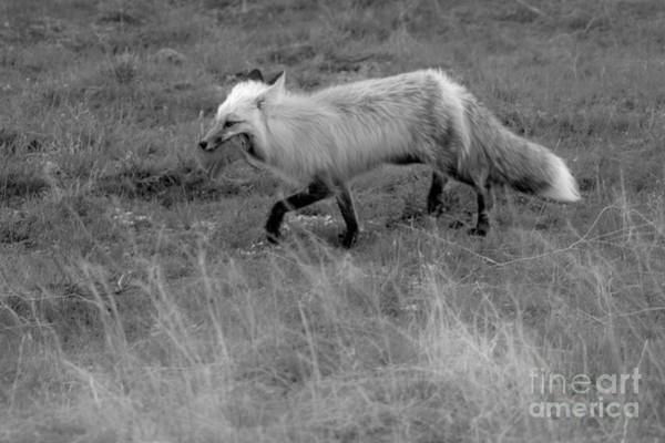 Wall Art - Photograph - Trotting Home With Dinner Black And White by Adam Jewell