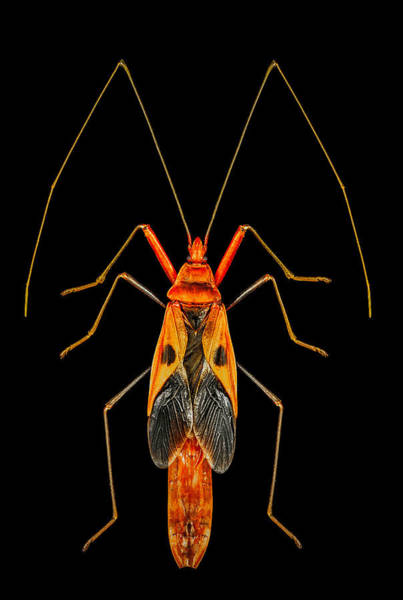 Photograph - True Bug Lohita by Gary Shepard
