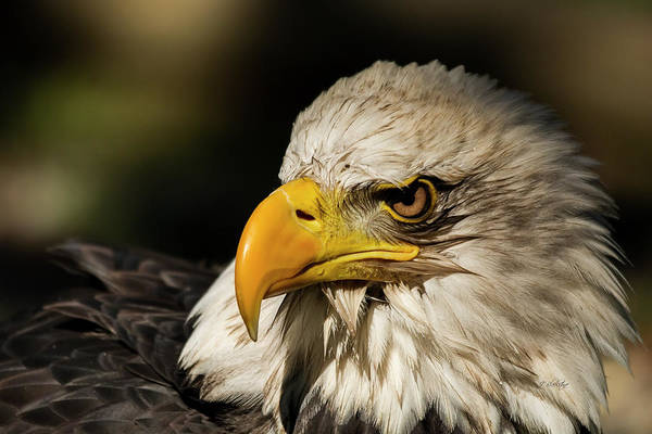 Photograph - True Strength - Eagle Art by Jordan Blackstone