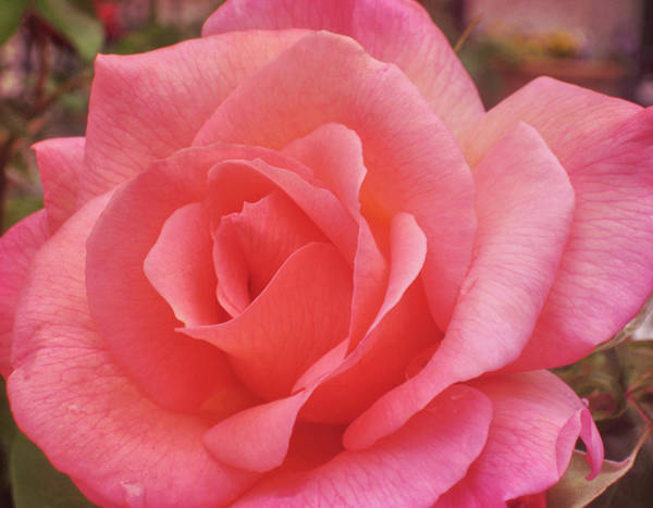 Photograph - Truly Pink  by JAMART Photography