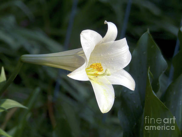 Photograph - Trumpet Lily by Amy Dundon