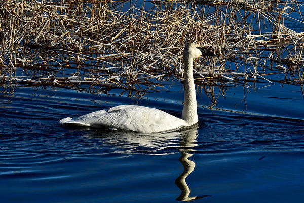 Manistee National Forest Wall Art - Photograph - Trumpeter Swan 0538 by Michael Peychich