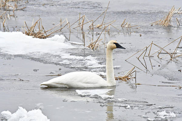 Manistee National Forest Wall Art - Photograph - Trumpeter Swan 1335 by Michael Peychich