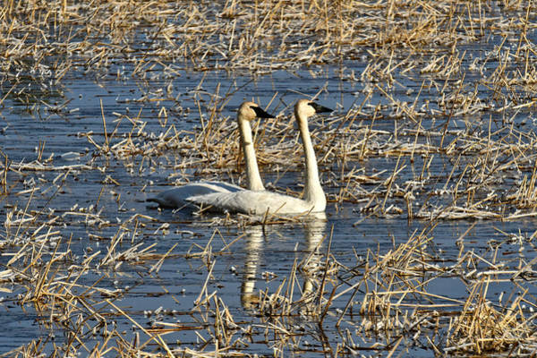 Manistee National Forest Wall Art - Photograph - Trumpeter Swans 0544 by Michael Peychich