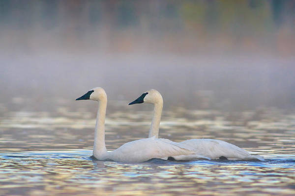 Wall Art - Photograph - Trumpeter Swans, Magness Lake, Arkansas by