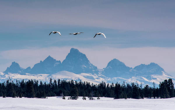 Cygnus Photograph - Trumpeter Swans On The Harriman Ranch by Howie Garber