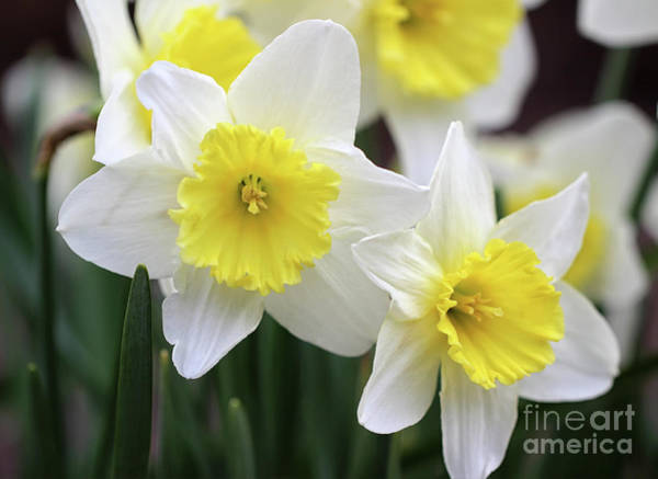 Photograph - Trumpets Of Spring by Karen Adams