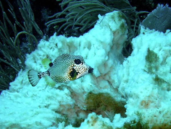 Roatan Photograph - Trunkfish by Adam Jeffery Photography