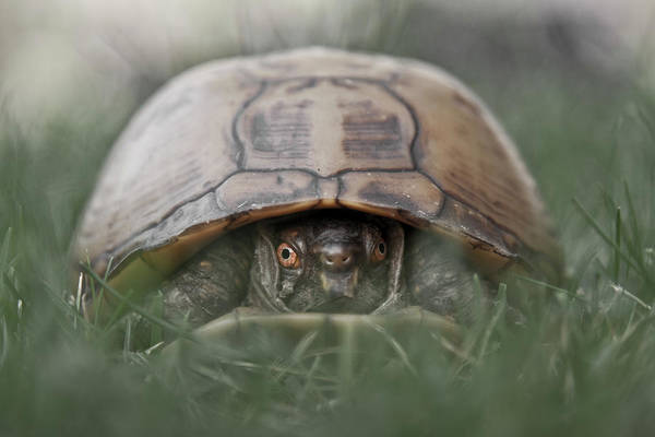 Box Turtle Photograph - Trutle Emerges From Its Shell by Christopher Kimmel