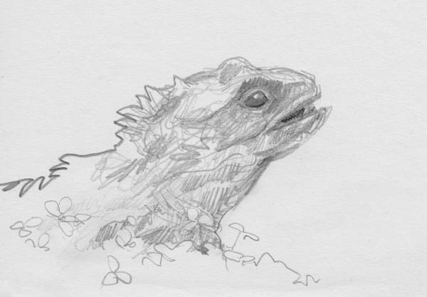 Drawing - Tuatara by Abby McBride
