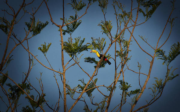 Photograph - Tucan In The Wild by David Resnikoff