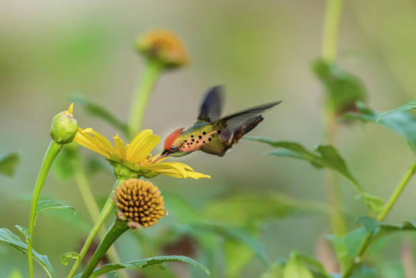 Photograph - Tufted Coquette Feeds On Sunflowers by Rachel Lee Young