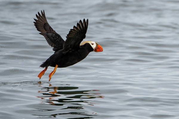 Photograph - Tufted Puffin Taking Off by Mark Hunter