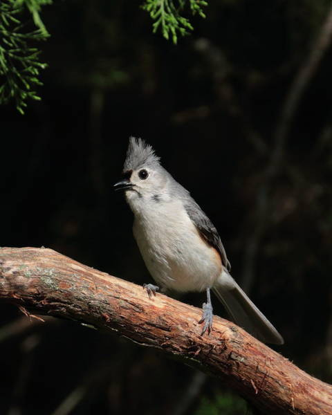 Photograph - Tufted Titmouse 7823 by John Moyer