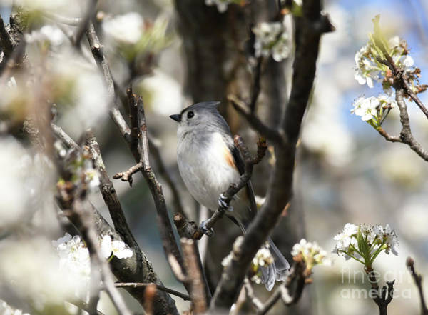 Photograph - Tufted Titmouse In The Blossoms by Kerri Farley