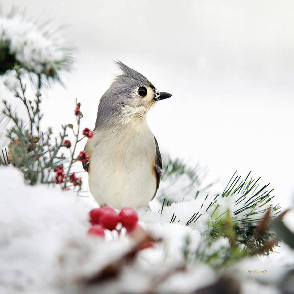 Photograph - Tufted Titmouse Winter Bird Square by Christina Rollo