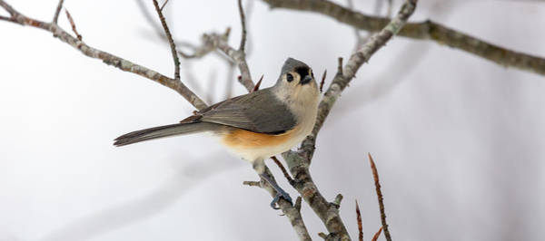 Wall Art - Photograph - Tufted Titmouse Winter Tranquility by Betsy Knapp