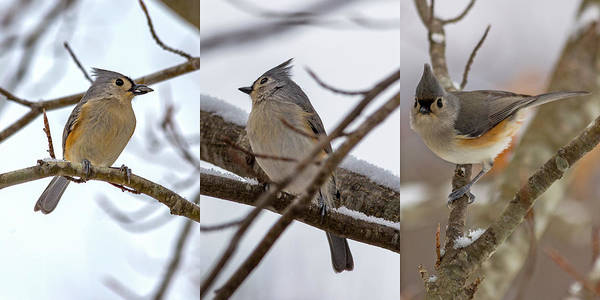 Wall Art - Photograph - Tufted Titmouse Wintry Trio by Betsy Knapp