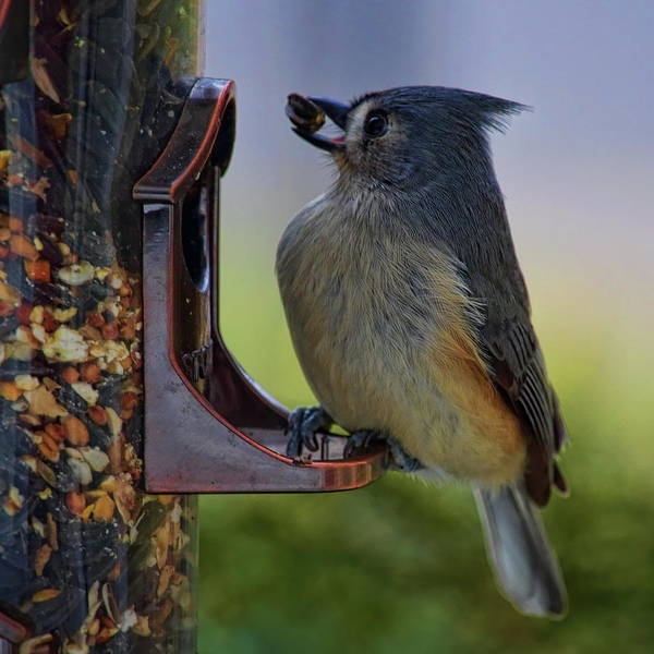Photograph - Tufted Titmouse With Seed by Dale Kauzlaric
