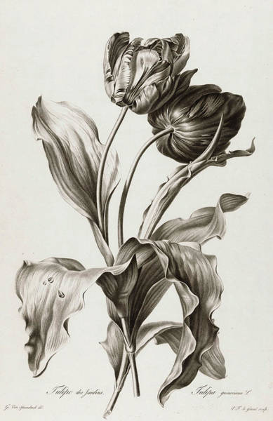 Wall Art - Painting - Tulip, 1801 by Pierre Francois Legrand