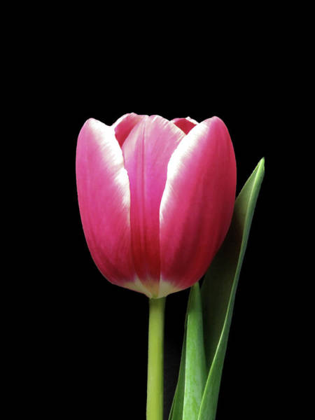 Photograph - Tulip Beauty On Black by Johanna Hurmerinta