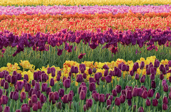 Wall Art - Photograph - Tulip Blooms, Wooden Shoe Tulip Farm by William Sutton