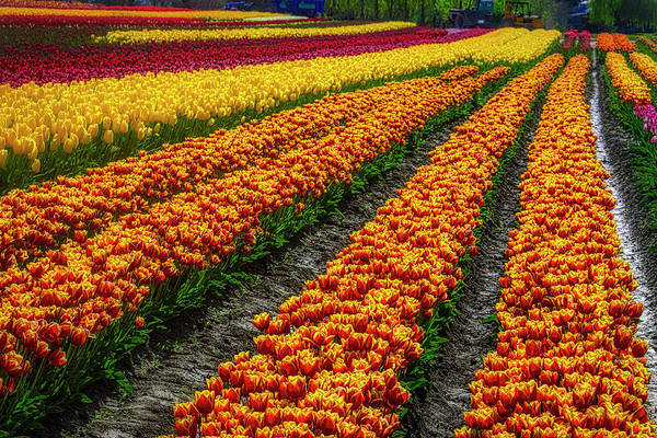 Photograph - Tulip Bulb Farm by Garry Gay