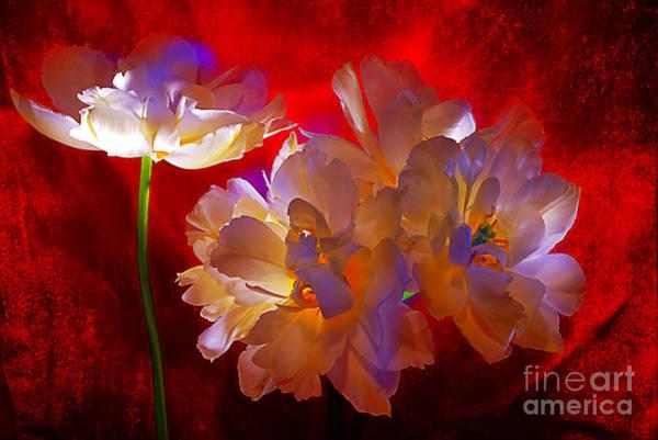 Wall Art - Photograph - Tulip Fever # 12. by Alexander Vinogradov