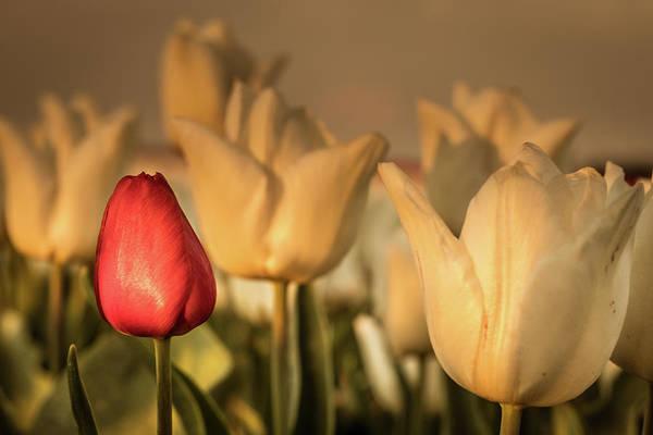 Photograph - Tulip Field by Anjo ten Kate
